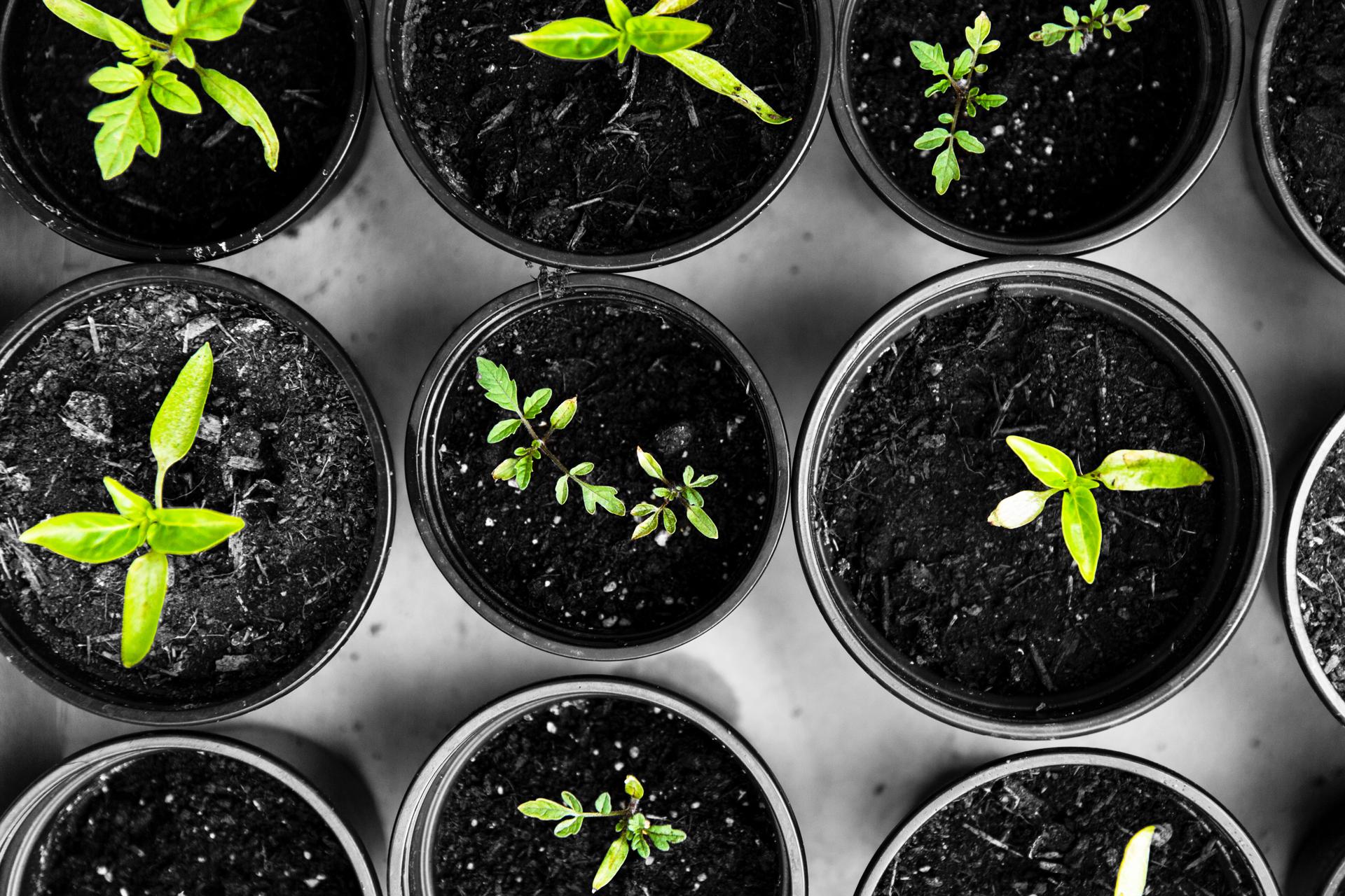 Telegraafi taimet kasvaa