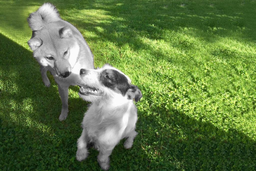 Telegraafi Salvo-koira ja kaveri